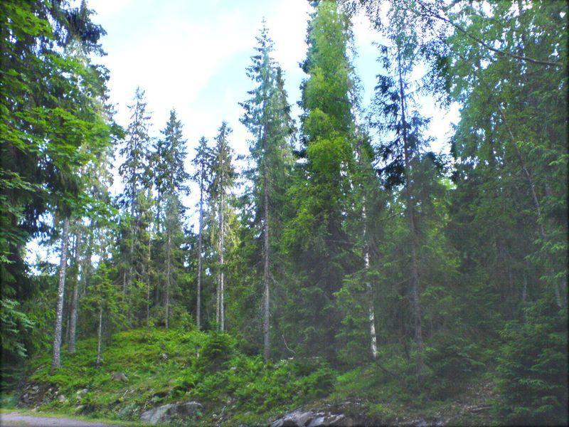 针叶林是寒温带的地带性植被